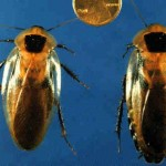 Blaberus discoidalis, female and male