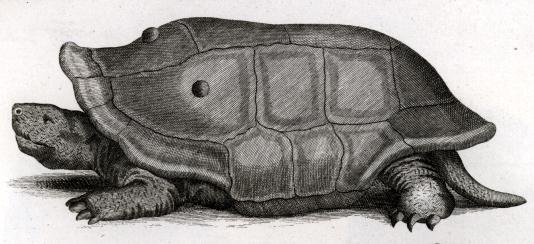 Cylindraspis indica