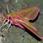 Бражник винный средний (Deilephila elpenor)