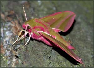 Винный бражник (Deilephila elpenor)