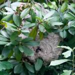 Dolichovespula maculata