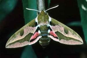 Бражник молочайный (Hyles euphorbiae)
