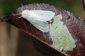 Американская белая бабочка (Hyphantria cunea)