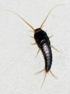 Lepisma saccharina