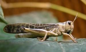 Перелетная саранча (Locusta migratoria)