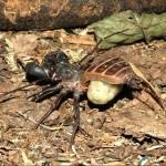 Mastigoproctus giganteus