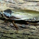 Phoetallia pallida