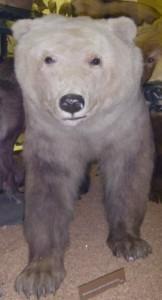Гибрид медведя