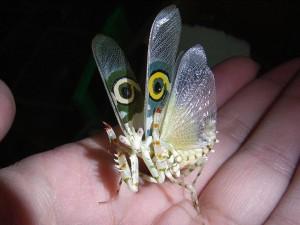 Pseudocreobotra wahlbergi