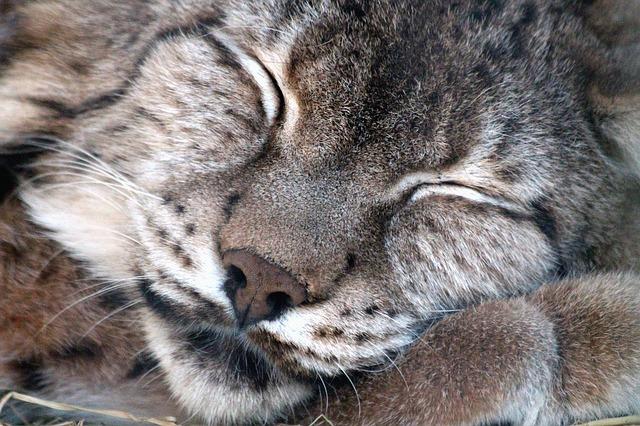 Рысь спит