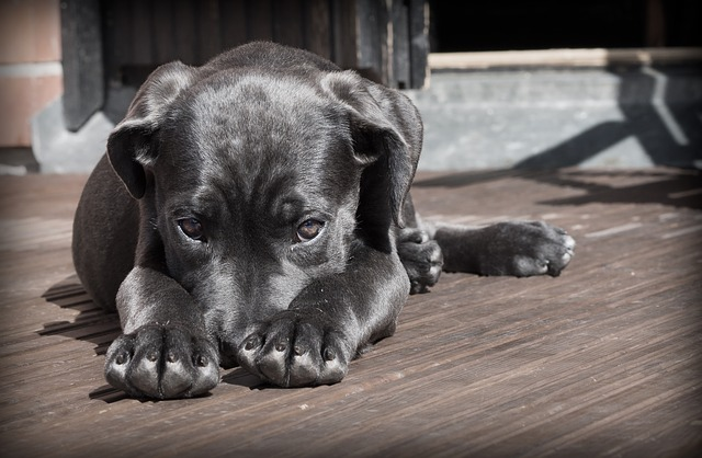 Собака-ламинака